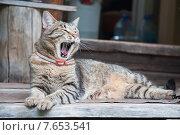 Купить «Европейский короткошерстный кот зевает», эксклюзивное фото № 7653541, снято 26 июня 2015 г. (c) Алёшина Оксана / Фотобанк Лори