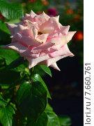 Купить «Роза чайно-гибридная Сент-Сэйши (лат. Scent-Sation)», эксклюзивное фото № 7660761, снято 18 июня 2015 г. (c) lana1501 / Фотобанк Лори