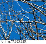 Купить «Соловей поет на сухом дереве», фото № 7663625, снято 9 мая 2015 г. (c) Инна Грязнова / Фотобанк Лори