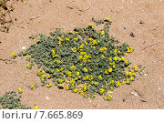 Люцерна приморская (Medicago marina, Fabaceae) растет в естественной среде обитания. Стоковое фото, фотограф Татьяна Ляпи / Фотобанк Лори