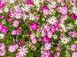 Яркий цветочный фон. Космея, или Космос (лат. Cosmos), фото № 7676377, снято 14 июля 2015 г. (c) Владимир Сергеев / Фотобанк Лори