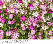 Купить «Яркий цветочный фон. Космея, или Космос (лат. Cosmos)», фото № 7676377, снято 14 июля 2015 г. (c) Владимир Сергеев / Фотобанк Лори