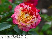 Купить «Роза Камиль Писсарро (лат. Camille Pissarro) Delbard флорибунда», эксклюзивное фото № 7683745, снято 13 июля 2015 г. (c) lana1501 / Фотобанк Лори