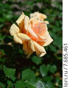 Купить «Роза чайно-гибридная Роял Паркс (лат. Royal Parks), Harkness», эксклюзивное фото № 7685461, снято 1 июля 2015 г. (c) lana1501 / Фотобанк Лори