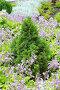 Декоративная карликовая ель Коника (Picea glauca conica) в окружении цветущих Хост, фото № 7686085, снято 17 марта 2012 г. (c) Евгений Мухортов / Фотобанк Лори