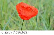 Купить «Красный мак качается на ветру. Луговые травы в солнечный день», видеоролик № 7686629, снято 12 июля 2015 г. (c) FMRU / Фотобанк Лори