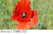 Купить «Красный мак качается на ветру. Луговые травы в солнечный день», видеоролик № 7686721, снято 12 июля 2015 г. (c) FMRU / Фотобанк Лори