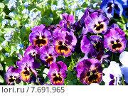 Разноцветные анютины глазки в саду на клумбе. Стоковое фото, фотограф Татьяна Кахилл / Фотобанк Лори