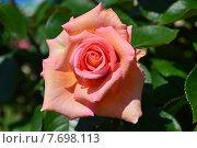 Купить «Роза чайно-гибридная на штамбе Сент-Сэйшн (лат. Scent-Sation), Fryers Roses», эксклюзивное фото № 7698113, снято 14 июня 2015 г. (c) lana1501 / Фотобанк Лори