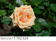Купить «Роза чайно-гибридная Роял Паркс (лат. Royal Parks), Harkness», эксклюзивное фото № 7702629, снято 1 июля 2015 г. (c) lana1501 / Фотобанк Лори