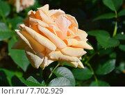 Купить «Роза чайно-гибридная Роял Паркс (лат. Royal Parks), Harkness», эксклюзивное фото № 7702929, снято 1 июля 2015 г. (c) lana1501 / Фотобанк Лори