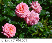 Купить «Роза чайно-гибридная Паул Ширвилл (лат. Paul Shirville), Harkness», эксклюзивное фото № 7704001, снято 1 июля 2015 г. (c) lana1501 / Фотобанк Лори