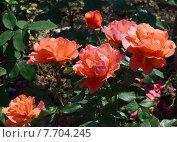 Купить «Роза чайно-гибридная Джекс Виш (лат. Jack s Wish)», эксклюзивное фото № 7704245, снято 1 июля 2015 г. (c) lana1501 / Фотобанк Лори