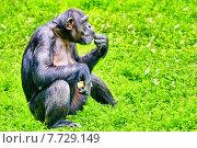 Купить «Обезьяна шимпанзе», фото № 7729149, снято 24 мая 2015 г. (c) Vitas / Фотобанк Лори