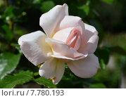 Купить «Роза чайно-гибридная Чандос Бьюти (лат. Chandos Beauty)», эксклюзивное фото № 7780193, снято 10 июня 2015 г. (c) lana1501 / Фотобанк Лори