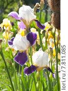 Купить «Ирис бородатый (Iris)», эксклюзивное фото № 7811085, снято 18 июня 2015 г. (c) Алёшина Оксана / Фотобанк Лори