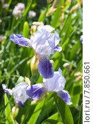 Купить «Ирис гибридный бородатый (Iris)», эксклюзивное фото № 7850661, снято 18 июня 2015 г. (c) Алёшина Оксана / Фотобанк Лори