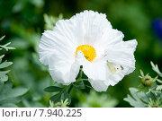 Аргемона (Papaveraceae) Pau kala, цветы семейства маковых. Стоковое фото, фотограф Татьяна Кахилл / Фотобанк Лори