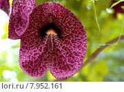 Купить «plant flower orchid pendant flavour», фото № 7952161, снято 15 декабря 2018 г. (c) PantherMedia / Фотобанк Лори
