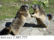 Купить «nature two wild play mountain», фото № 7987777, снято 19 февраля 2019 г. (c) PantherMedia / Фотобанк Лори