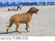 Купить «Pet dog faithful bitch wenhund», фото № 7995133, снято 20 сентября 2018 г. (c) PantherMedia / Фотобанк Лори