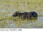 Купить «wasserb ffel water animal asia», фото № 8031149, снято 21 мая 2018 г. (c) PantherMedia / Фотобанк Лори