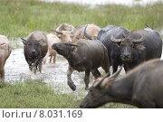 Купить «wasserb ffel water animal asia», фото № 8031169, снято 15 августа 2018 г. (c) PantherMedia / Фотобанк Лори