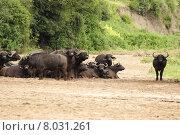 Купить «africa tanzania kaffernb ffel lakemanyara», фото № 8031261, снято 15 августа 2018 г. (c) PantherMedia / Фотобанк Лори