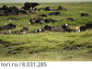 Купить «africa tanzania kaffernb ffel ngorongoronp», фото № 8031285, снято 15 августа 2018 г. (c) PantherMedia / Фотобанк Лори