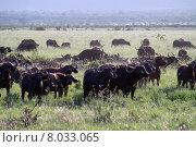 Купить «wild free kenya buffalo kaffernb», фото № 8033065, снято 21 мая 2018 г. (c) PantherMedia / Фотобанк Лори