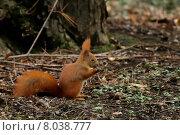 Купить «animal wild mammal rodent squirrel», фото № 8038777, снято 19 февраля 2019 г. (c) PantherMedia / Фотобанк Лори