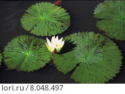 Купить «plant africa botany lotus lily», фото № 8048497, снято 18 октября 2018 г. (c) PantherMedia / Фотобанк Лори