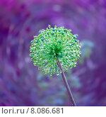Купить «Зеленый декоративный лук с каплыми дождя на фиолетовом фоне», фото № 8086681, снято 4 июля 2015 г. (c) Татьяна Белова / Фотобанк Лори