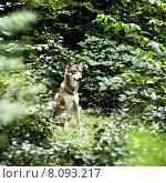 Купить «forest bavaria wolf national park», фото № 8093217, снято 22 июля 2019 г. (c) PantherMedia / Фотобанк Лори
