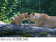 Купить «love animals cat zoo tenderness», фото № 8098345, снято 19 июня 2019 г. (c) PantherMedia / Фотобанк Лори