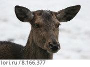 Купить «nature winter wild forest mammal», фото № 8166377, снято 19 февраля 2019 г. (c) PantherMedia / Фотобанк Лори
