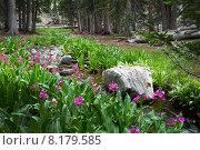 Купить «Примула Парри цветущая вдоль берегов лесного ручья. Национальный парк Great Basin (Грейт-Бейсин), Невада. США», фото № 8179585, снято 3 июля 2015 г. (c) Ирина Кожемякина / Фотобанк Лори
