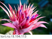 Купить «Соцветие эхмеи с бутонами», фото № 8194113, снято 24 июля 2015 г. (c) Mike The / Фотобанк Лори