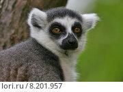Купить «portrait eyes monkey madagascar lemures», фото № 8201957, снято 22 апреля 2019 г. (c) PantherMedia / Фотобанк Лори