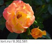 Роза флорибунда Солей дю Монд (лат. Soleil du Monde, delseb), Delbard 2007. Стоковое фото, фотограф lana1501 / Фотобанк Лори