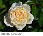 Роза флорибунда Крим Абандэнс (Cream Abundance), Harkness Roses. Стоковое фото, фотограф lana1501 / Фотобанк Лори