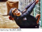 Купить «Детеныш обезьяны шимпанзе в вольере», фото № 8351005, снято 24 мая 2015 г. (c) Vitas / Фотобанк Лори