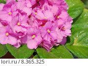 Купить «usambaraveilchen saintpaulia ionantha hybride usambara», фото № 8365325, снято 9 июля 2020 г. (c) PantherMedia / Фотобанк Лори