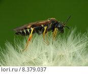 Купить «insect pollen bee dandelion wasp», фото № 8379037, снято 15 октября 2019 г. (c) PantherMedia / Фотобанк Лори