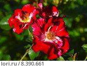 Купить «Роза флорибунда Крэйзи фо Ю (лат. Crazy for You)», эксклюзивное фото № 8390661, снято 24 июля 2015 г. (c) lana1501 / Фотобанк Лори