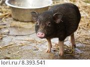 Купить «black cute pink nose pig», фото № 8393541, снято 25 мая 2019 г. (c) PantherMedia / Фотобанк Лори