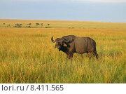 Купить «kenya buffalo kaffernb ffel wasserb», фото № 8411565, снято 21 мая 2018 г. (c) PantherMedia / Фотобанк Лори