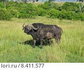 Купить «kenya buffalo kaffernb ffel wasserb», фото № 8411577, снято 15 августа 2018 г. (c) PantherMedia / Фотобанк Лори
