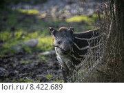 mammal tapir flachlandtapir flachlandtapirbaby tapirbaby. Стоковое фото, фотограф Martina Berg / PantherMedia / Фотобанк Лори