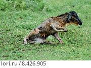 Купить «young baby mammal newborn neonate», фото № 8426905, снято 24 марта 2019 г. (c) PantherMedia / Фотобанк Лори